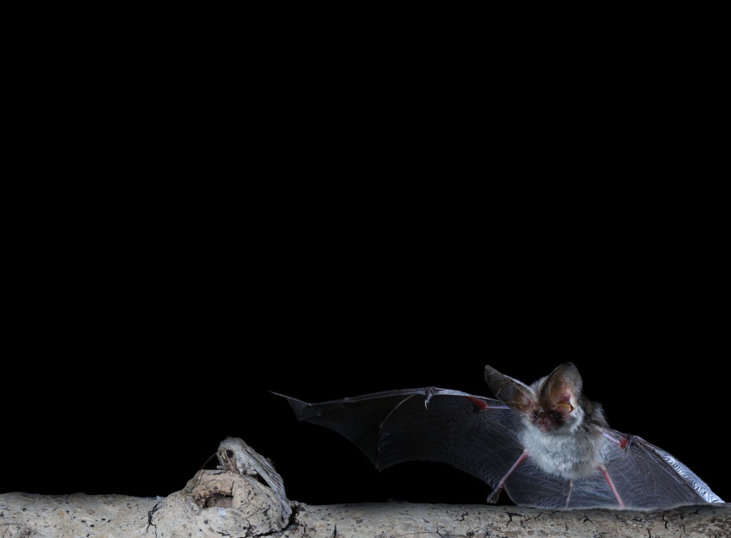 Bats as pest controllers
