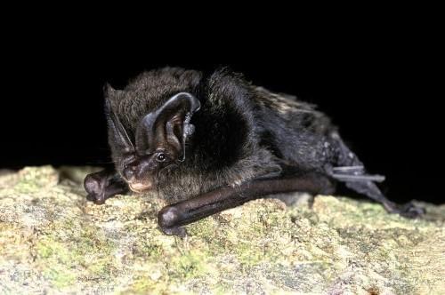 Bat species at risk of extinction