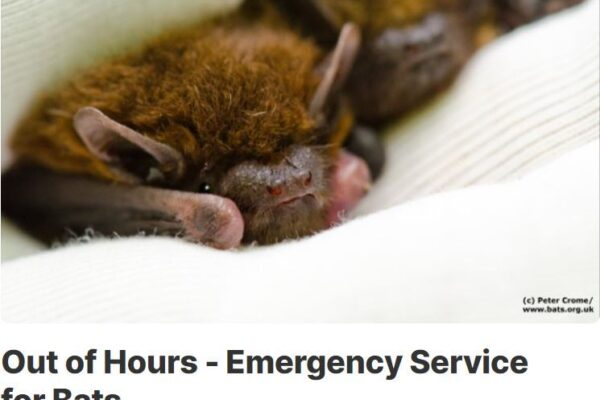 National Bat Helpline – a call for help