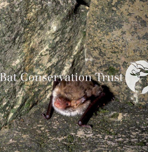 Natterer's bat