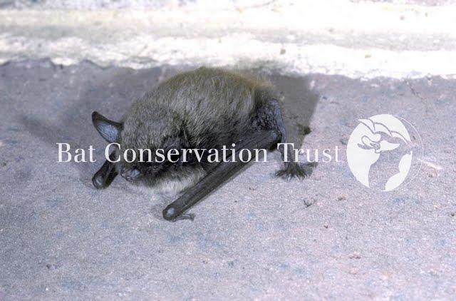 Whiskered bat