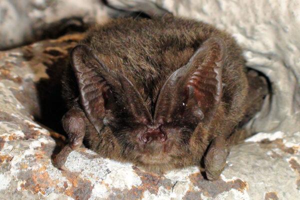 Bat Species Core Sustenance Zones and Habitats for Biodiversity Net Gain