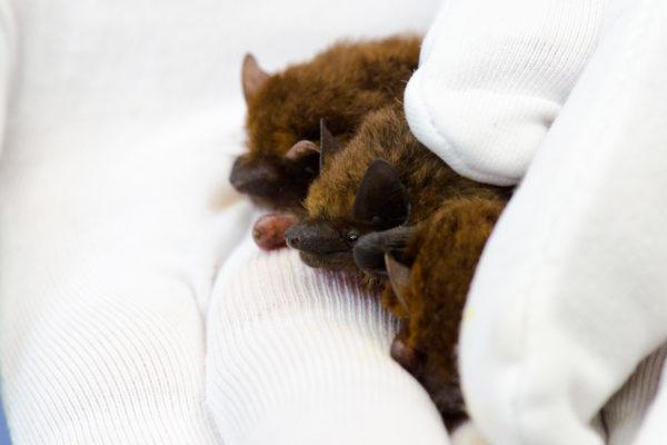 Online Bat Care Training