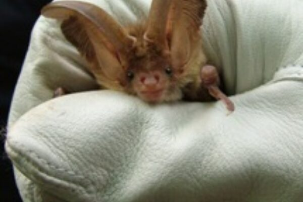 Bats and rabies in the UK