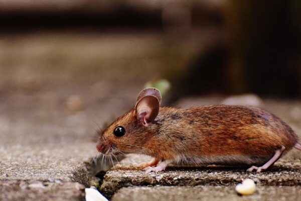 Controlling rats and mice