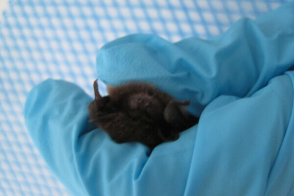 A bat has been brought to our vet surgery