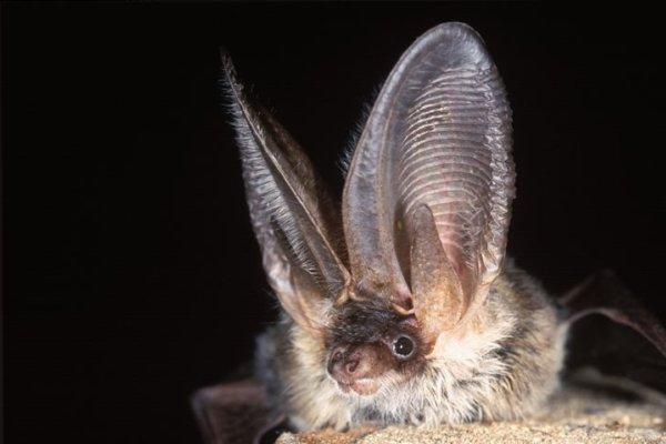 Grey long-eared bat