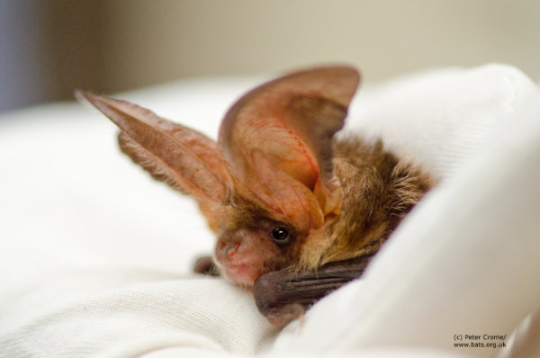 Bat Habitats Regulation Bill [HL] 2017-19