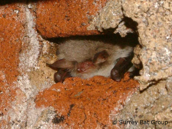 Man sentenced for destroying a bat roost in Shaftesbury