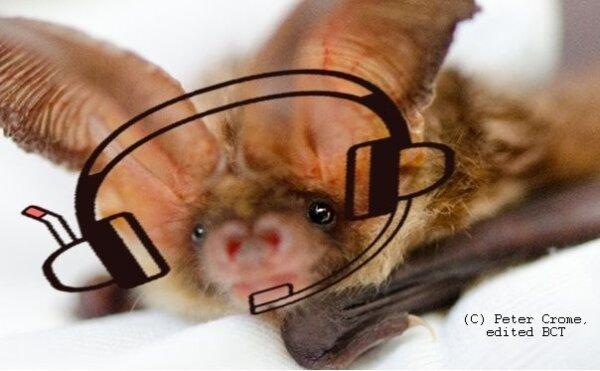 Volunteer Bat Care Helpline Project update