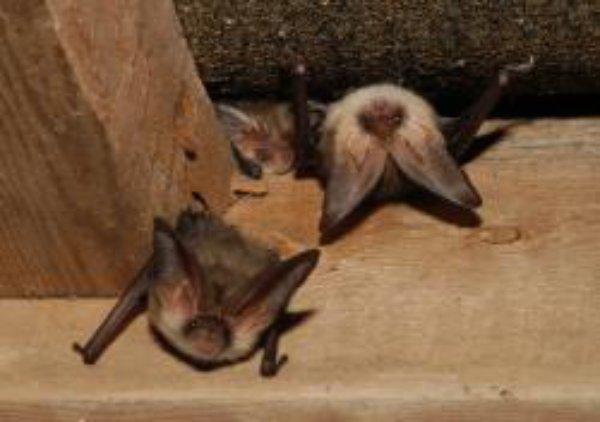 London's bats to get £150k designer home