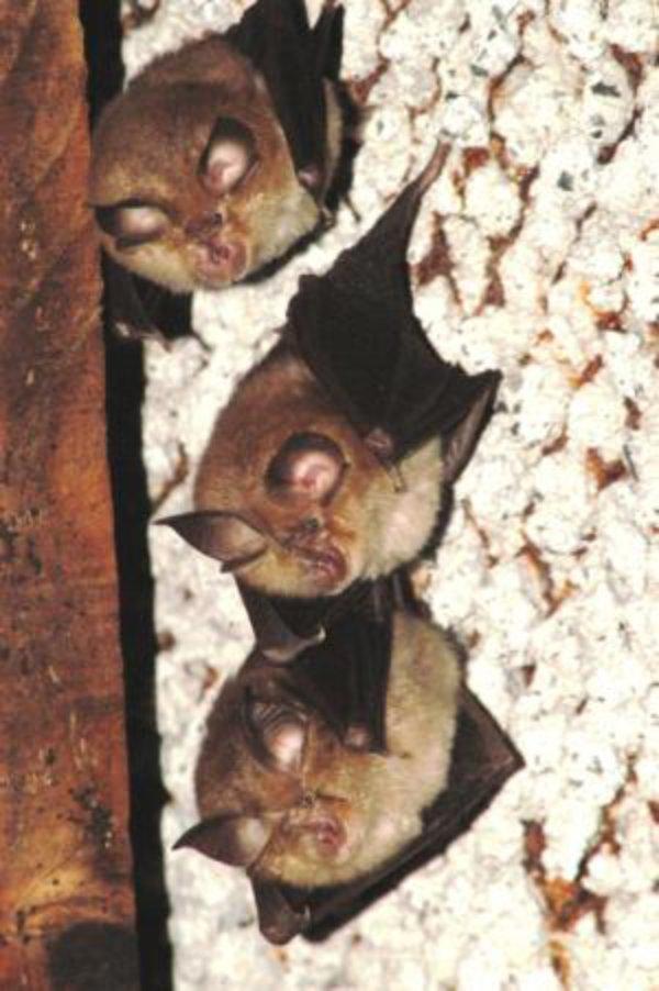 New Welsh project to help lesser horseshoe bat