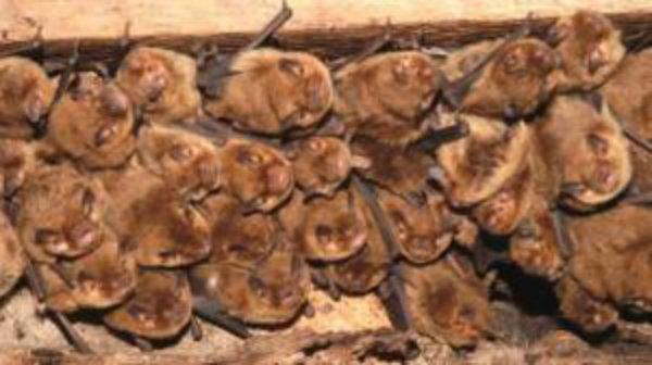 Developer hit with £3,500 fine for destroying bat roost