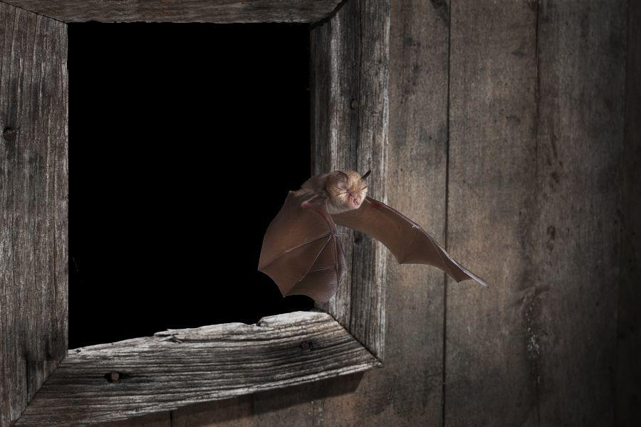 Greater horseshoe bat rediscovered in Kent